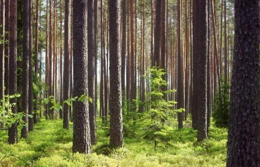 Прогулки в сосновом лесу