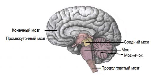 Строение головного мозга