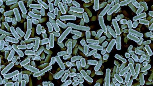 Колонии бактерий