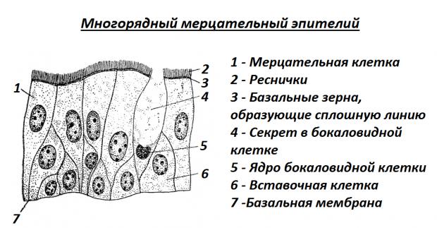 Многорядный мерцательный эпителий