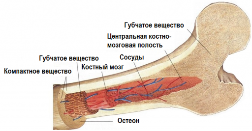 Костный мозг и другие структуры кости