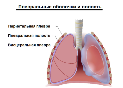 Плевральные оболочки и полость