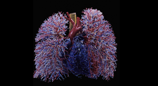 Кровеносные сосуды в легких