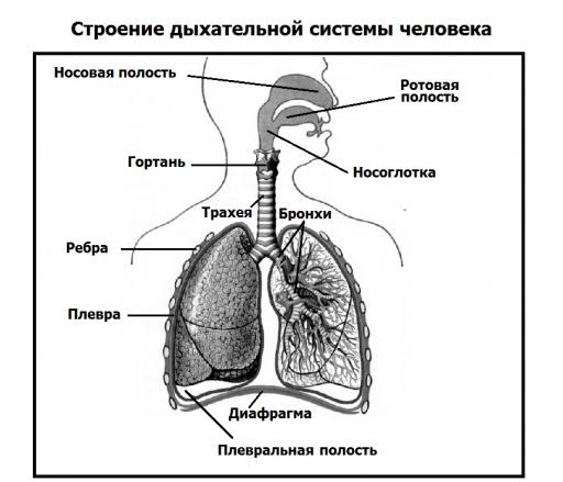 Строение дыхательной системы человека