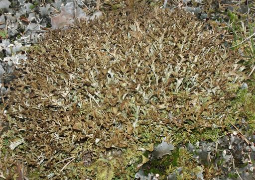 Исландский мох или Цетрария исландская