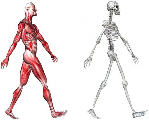 Скелет и мышцы человека