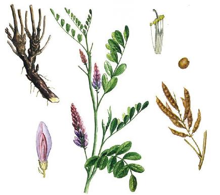 Солодка - народное средство при лечении туберкулеза