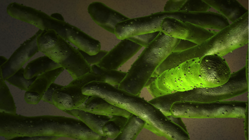 Mycobacterium lepra
